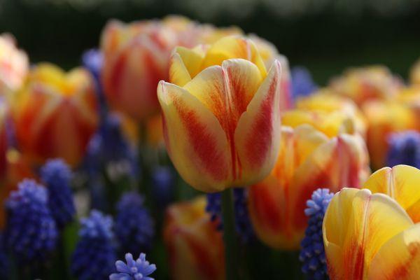 Tulipe :-)