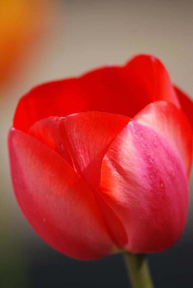 Tulipe 2