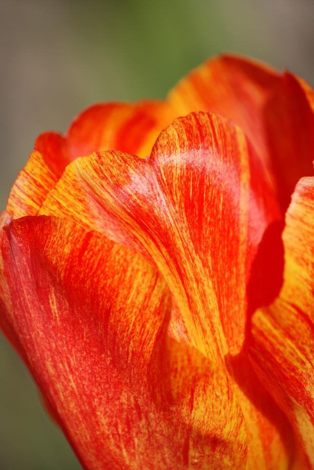 Tulipe 4