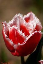 Tulipe Canasta