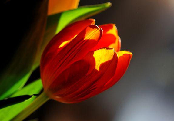 Tulipe dans la lumière d'un petit matin