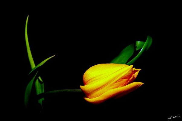 tulipe dans tout son éclat