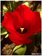 tulipe de plus loin