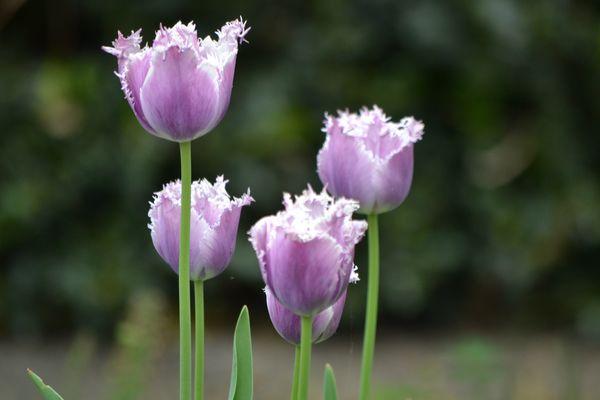 Tulipe dentelé