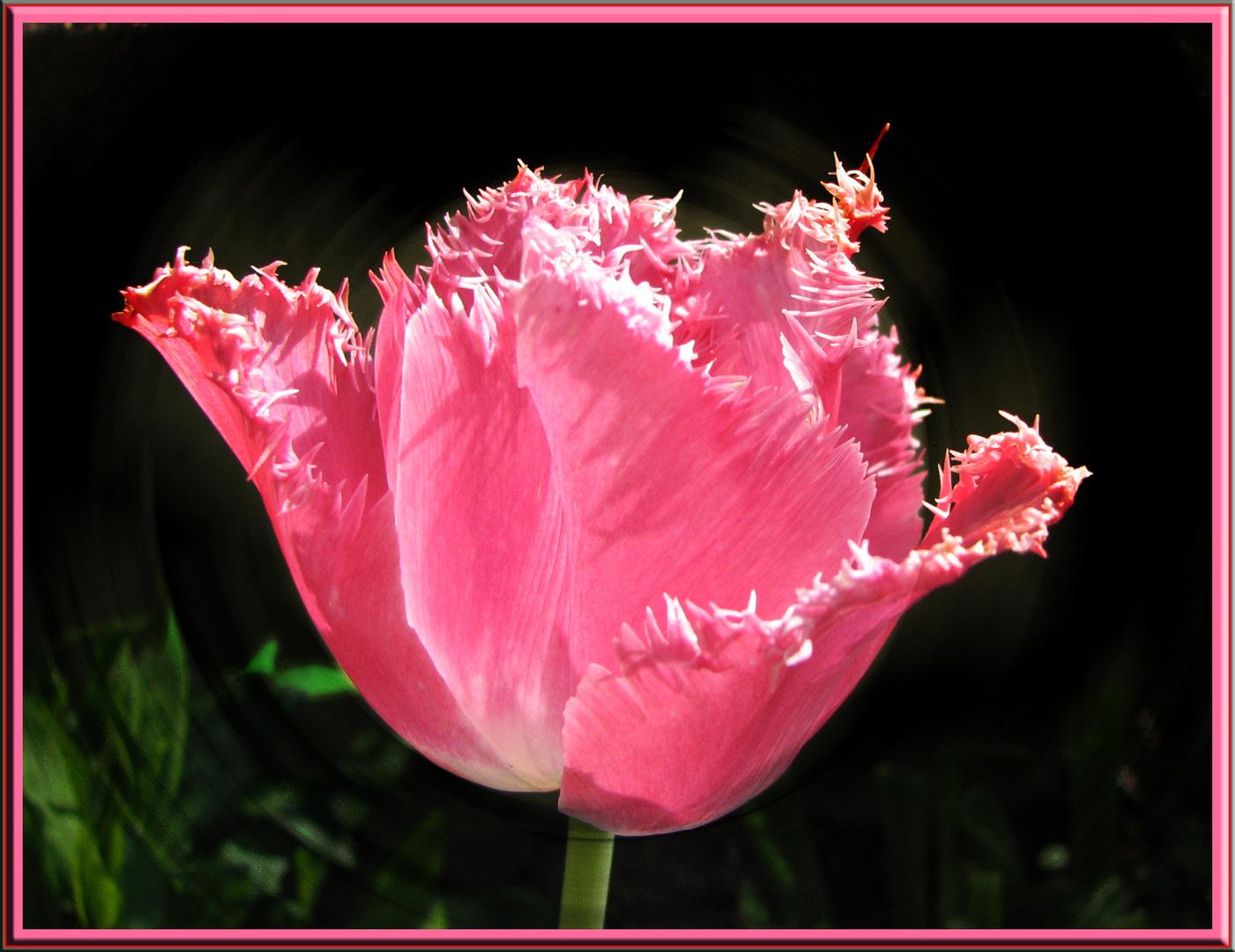 """Tulipe dentelles """"Canasta"""""""