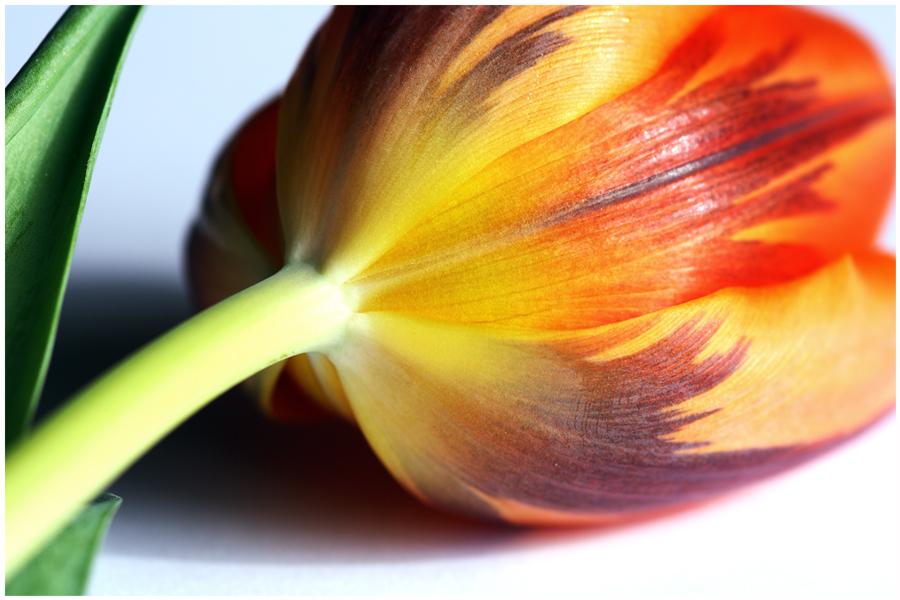 Tulipe ....