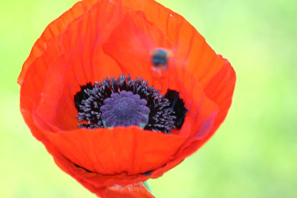 Tulipe et bourdon