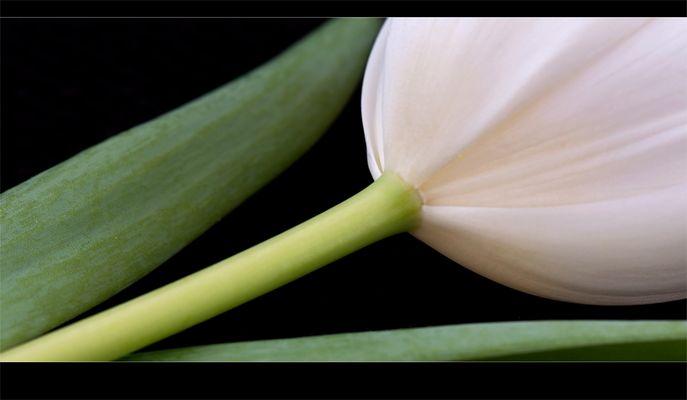 * tulipe III *