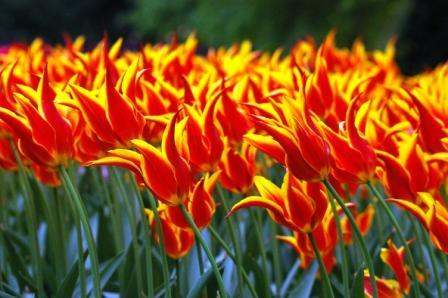 Tulipe, jardin de Bigard, Bruxelles