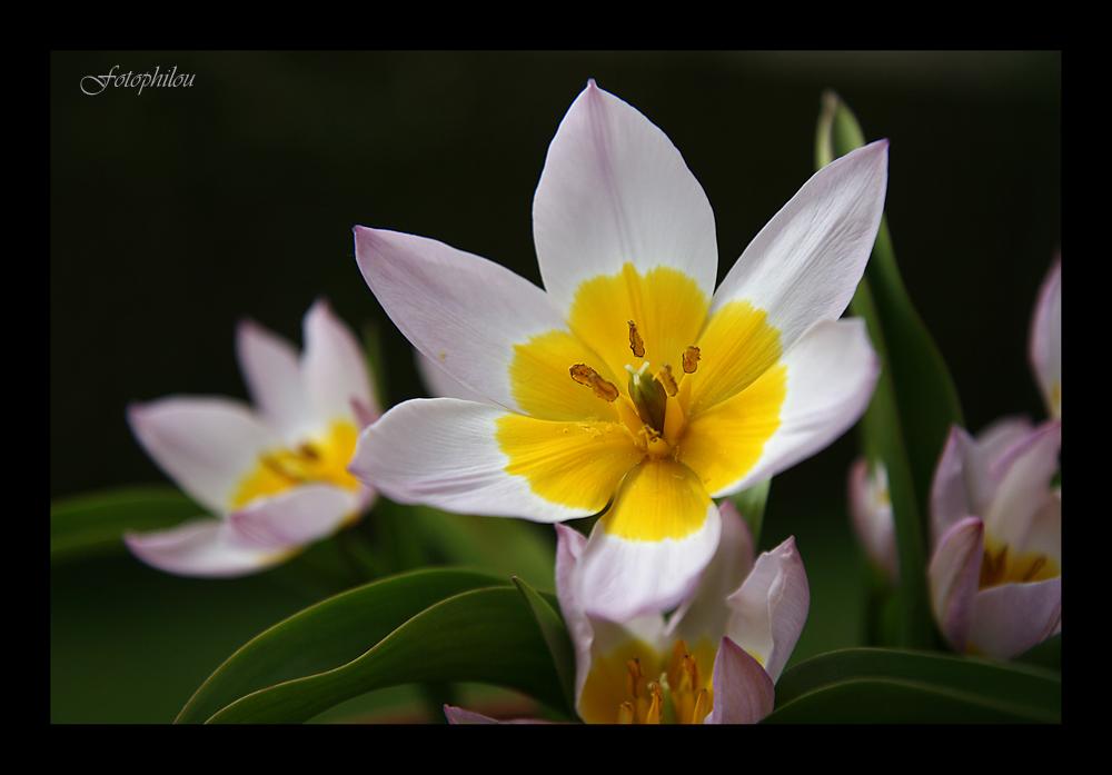 "Tulipe ""Lilac Wonder"""