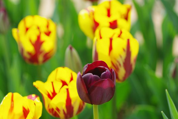 Tulipe Mauve