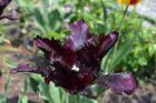 tulipe merveilleuse