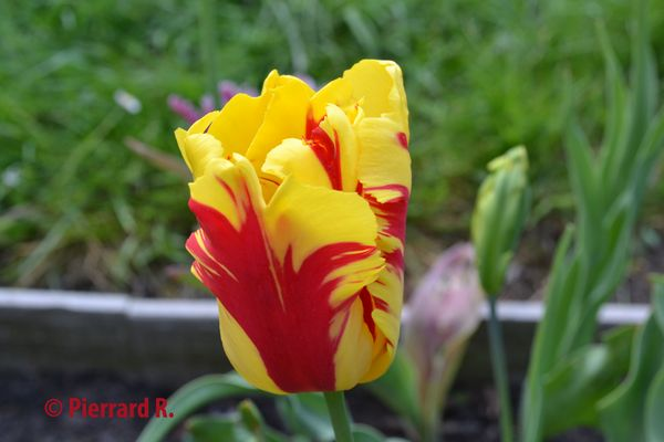 Tulipe sang et or