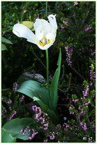 Tulipe solitaire