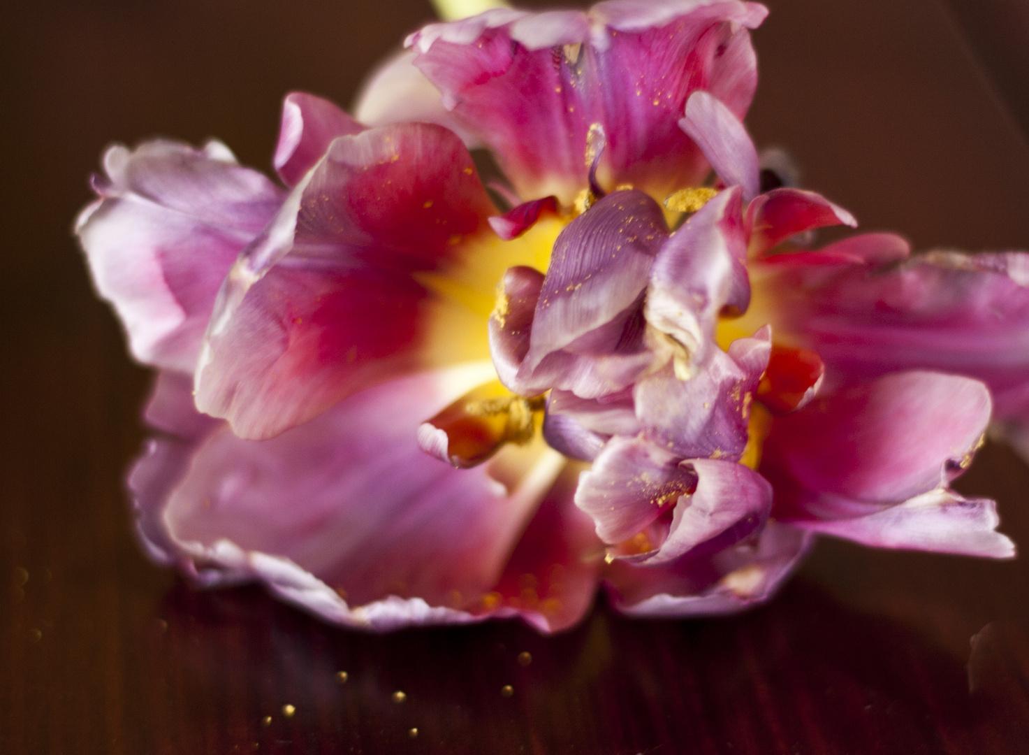 Tulipe4