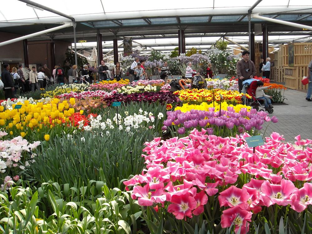 Tulipes de Hollande