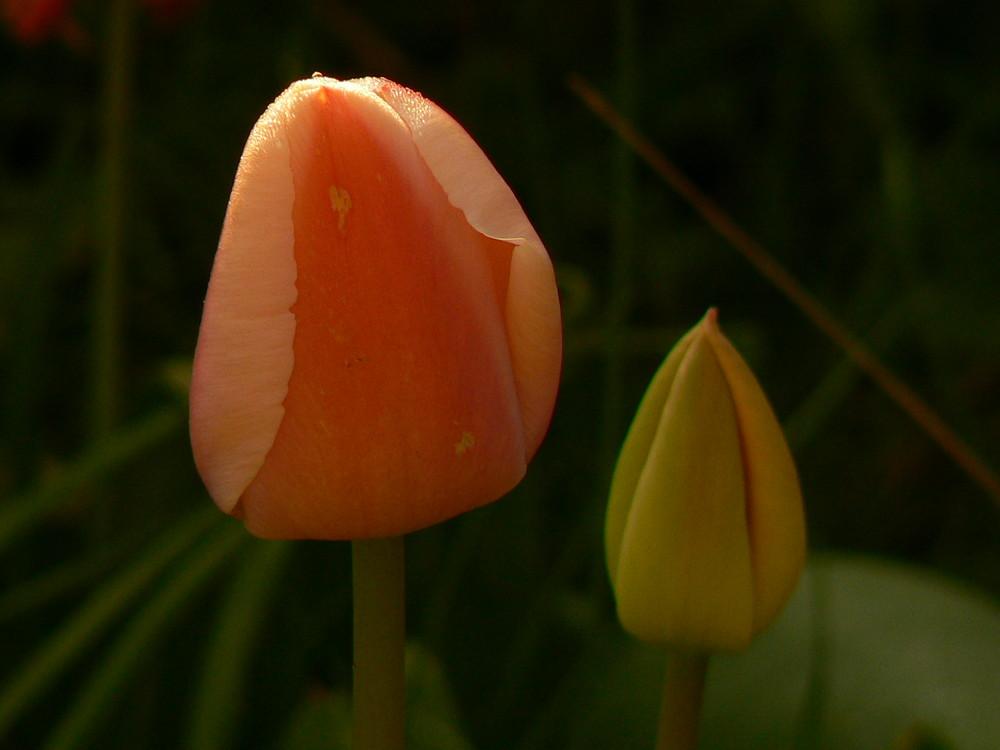 Tulipes d'un matin