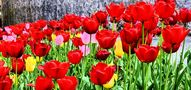 Tulipes en Savoie... von JeanPierre