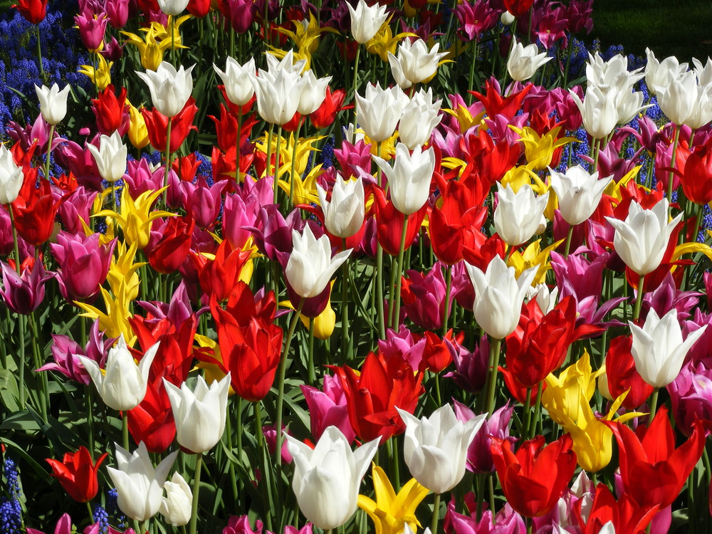 tulipes multicolores