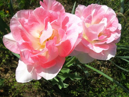 Tulipes péroquets