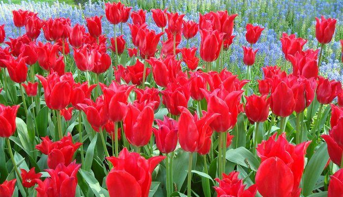 Tulipes rouges sur fond bleu