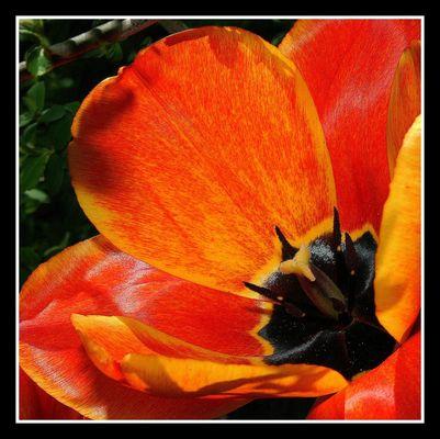 """"""" Tulipes sous la haie """""""