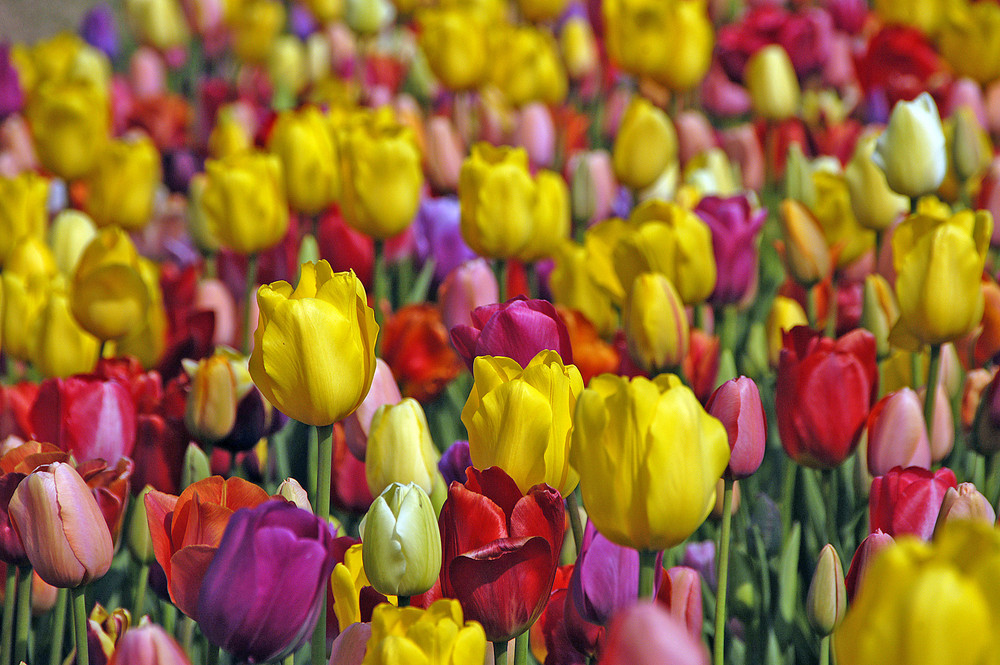 Tulips *2*