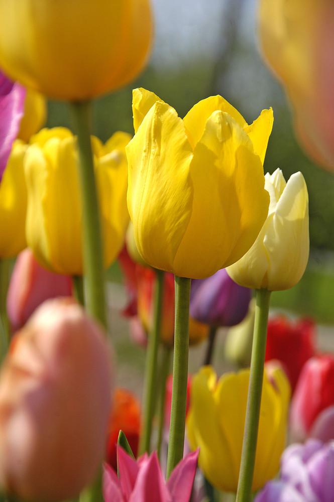Tulips *4*