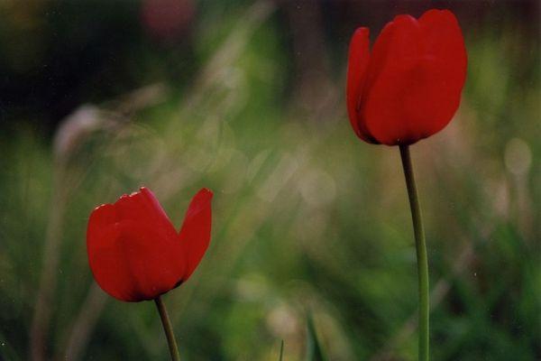 Tulpe 1 und Tulpe 2, rot