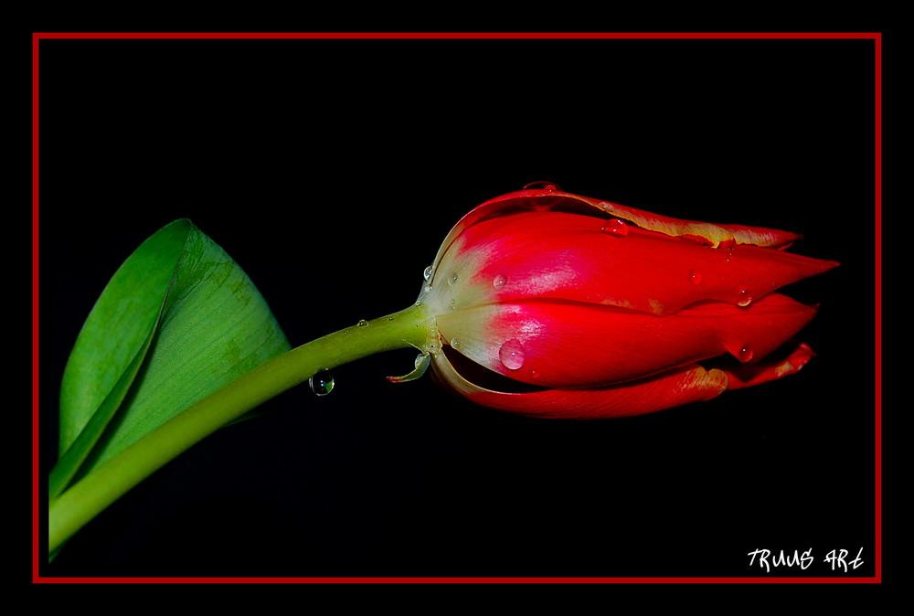 Tulpe!!