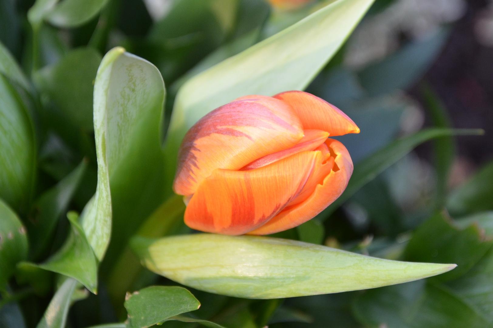 # Tulpe - 2 #