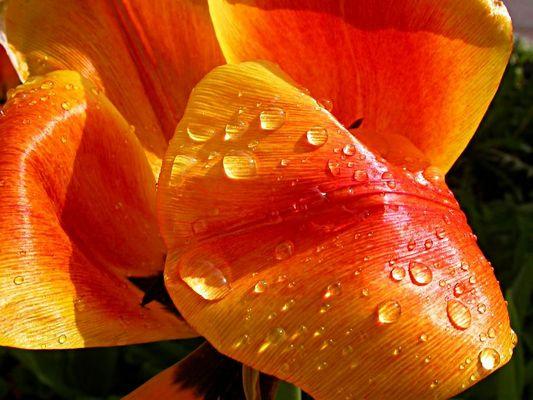 Tulpe 3