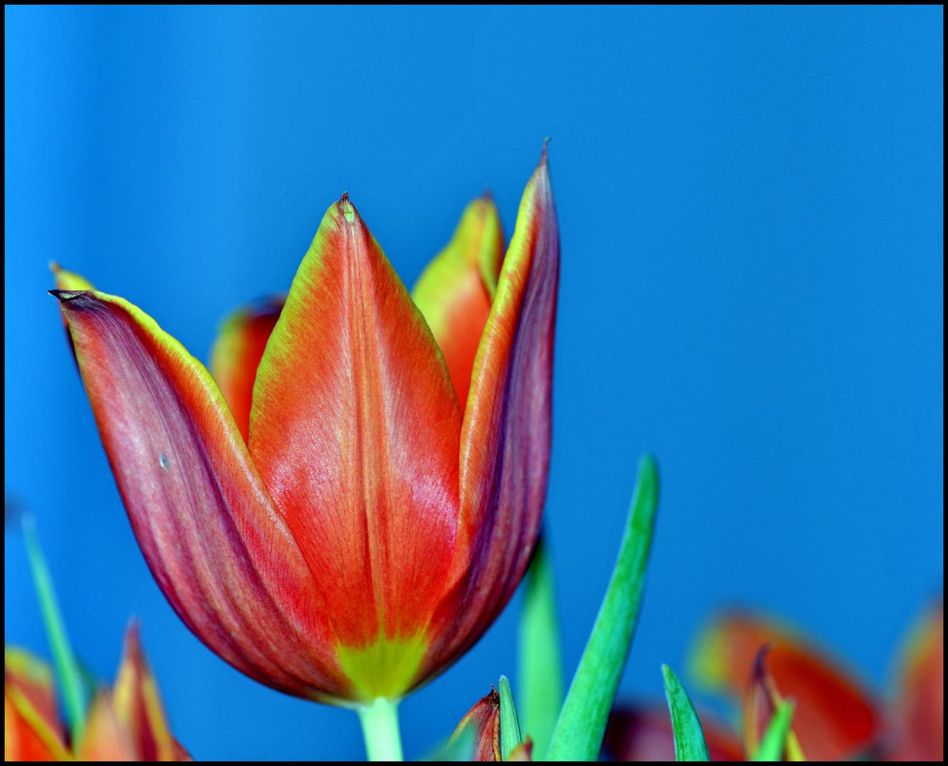 """"""" Tulpe """""""