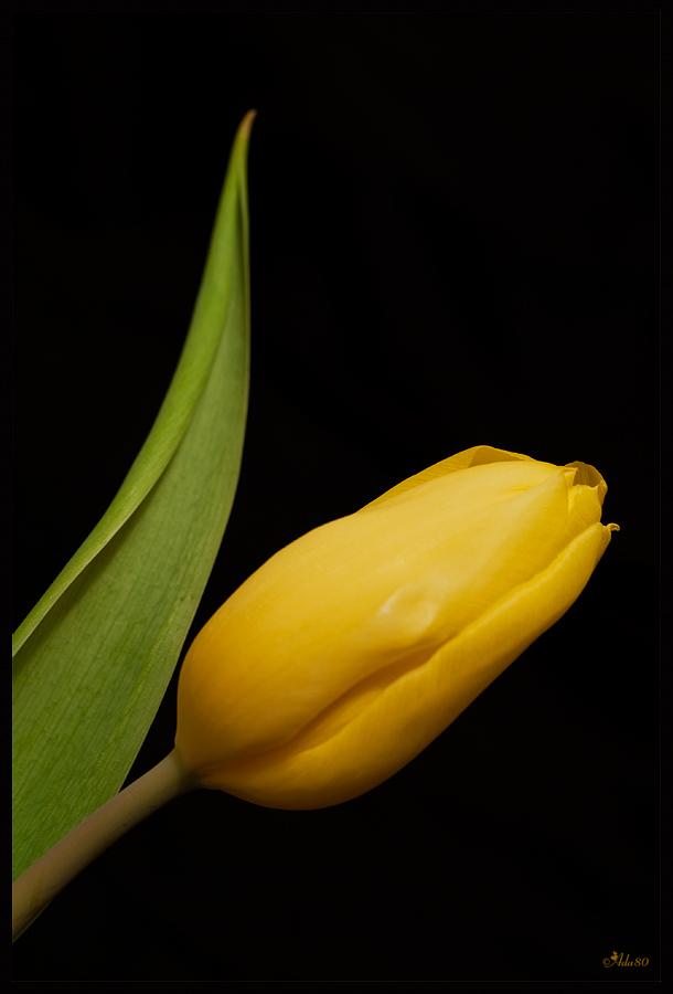 --Tulpe--