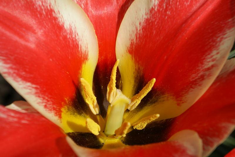 Tulpe?
