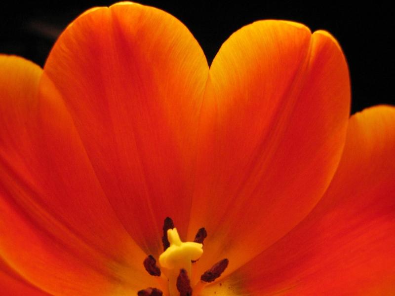 *Tulpe*