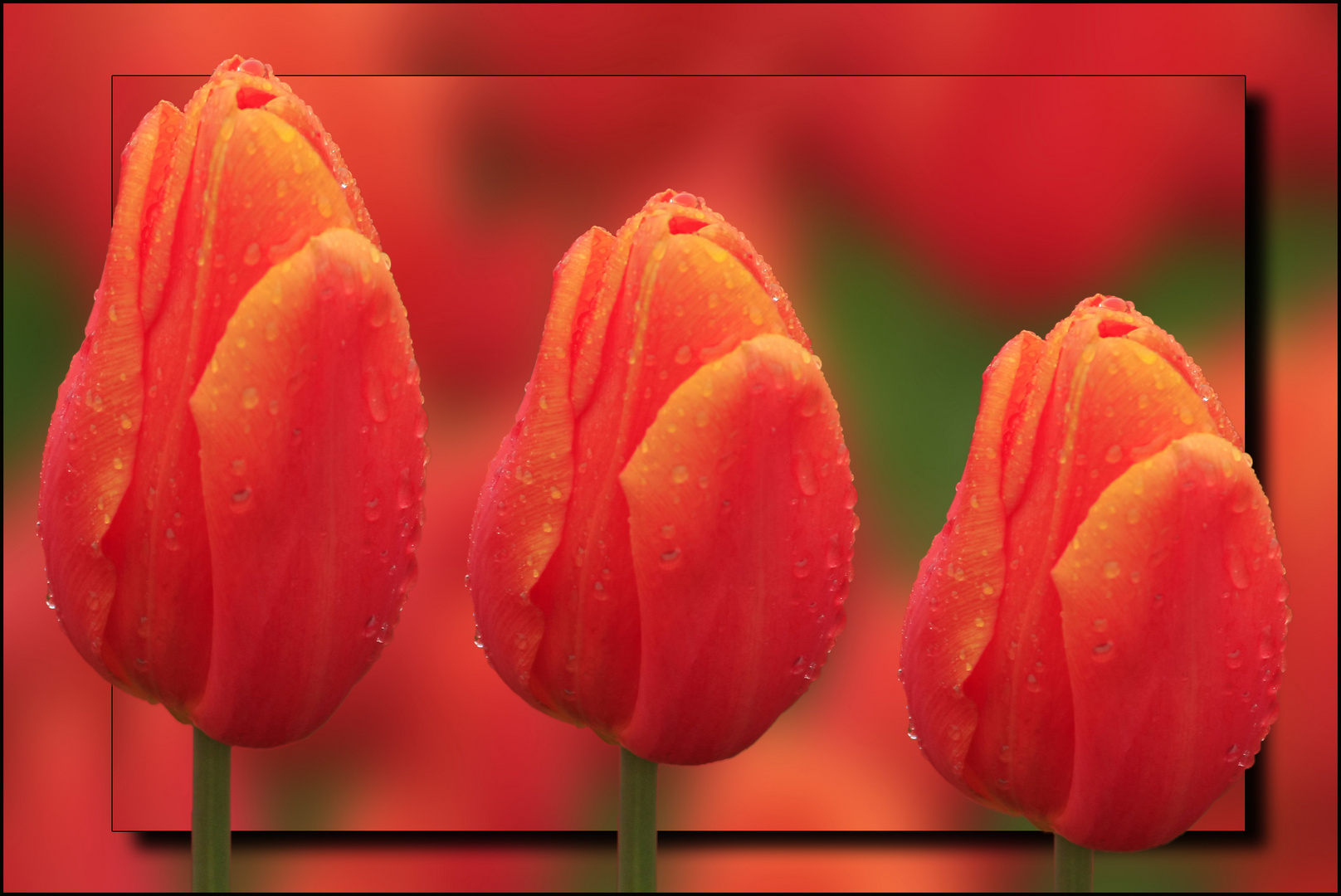 ~ Tulpe ~