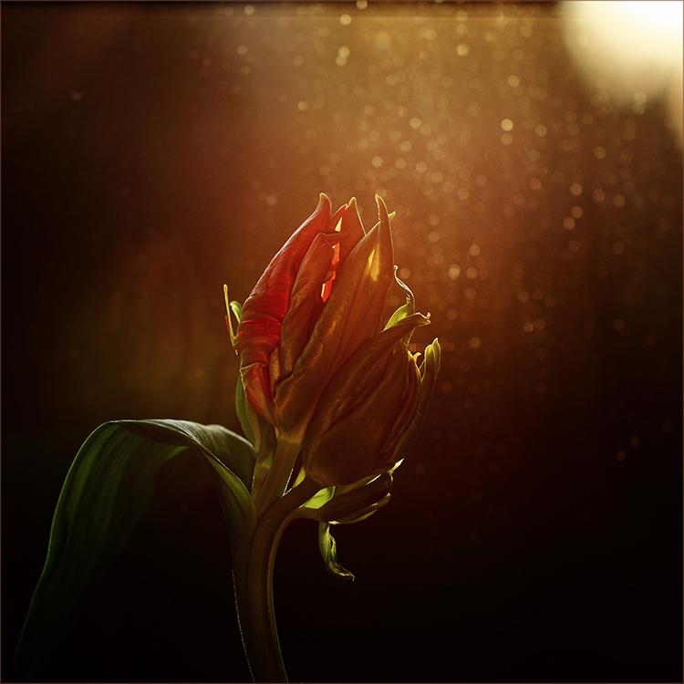 []...tulpe...[]