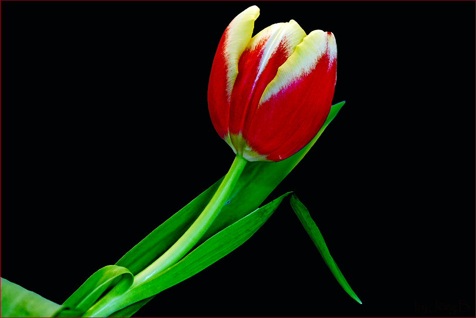 ...Tulpe...