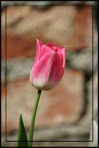 Tulpe.. ..