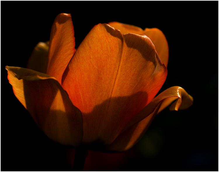 Tulpe (abends)