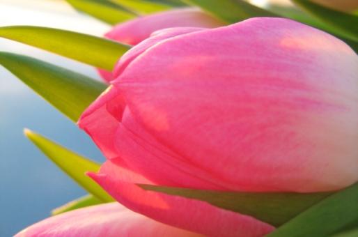 ~Tulpe~