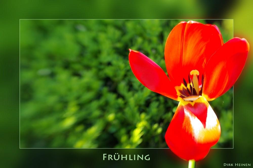 Tulpe als Karte mit Lensbaby fotografiert