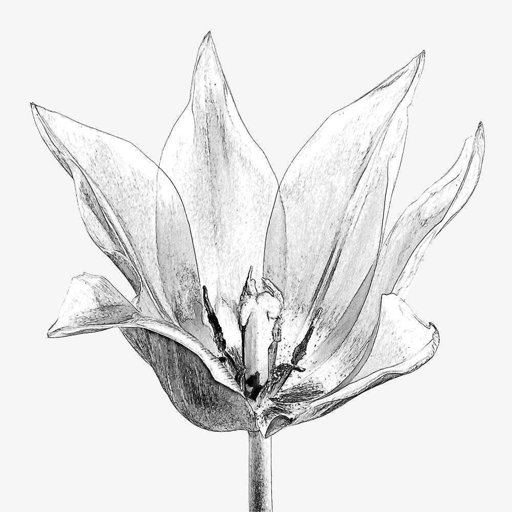 Tulpe als SW-Grafik