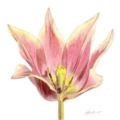 Tulpe als Zeichnung