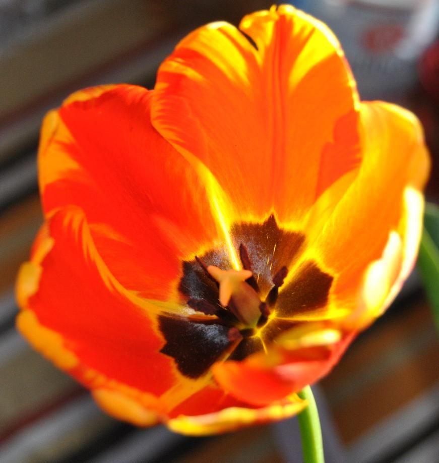 tulpe am abend