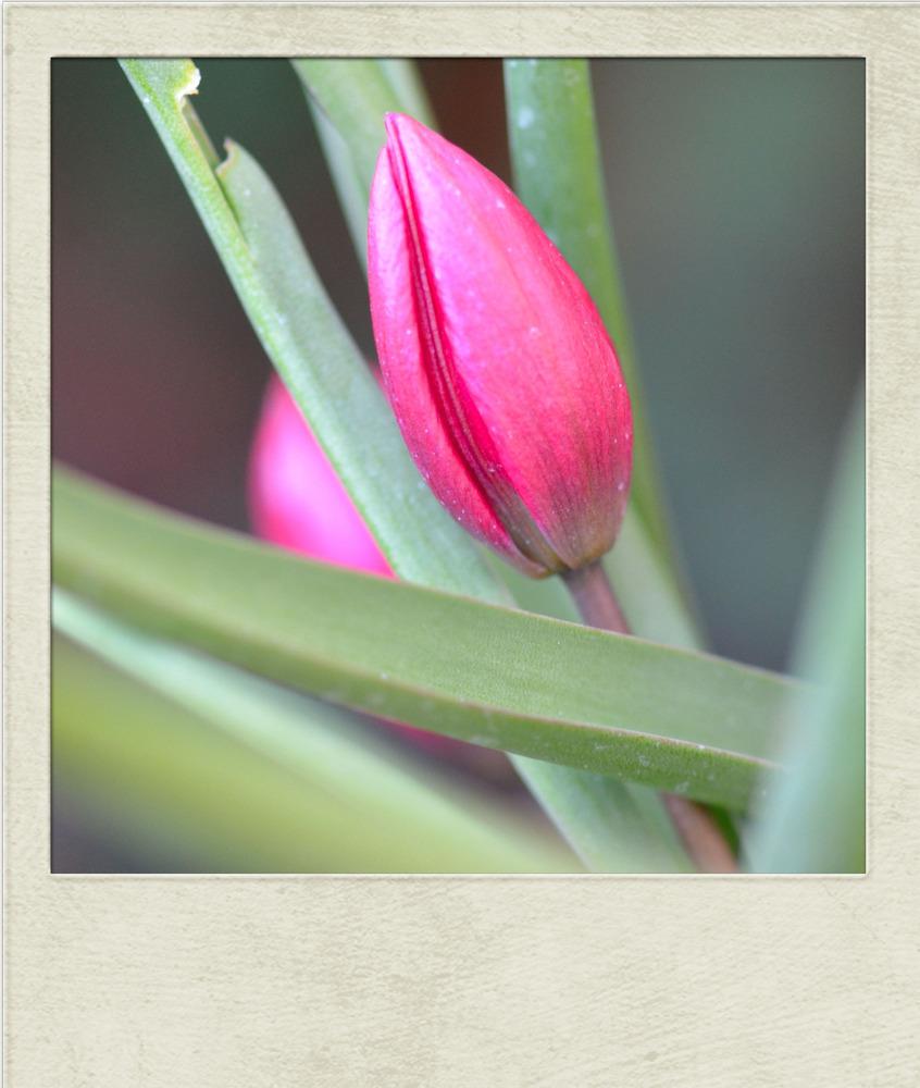 * Tulpe am Morgen....*