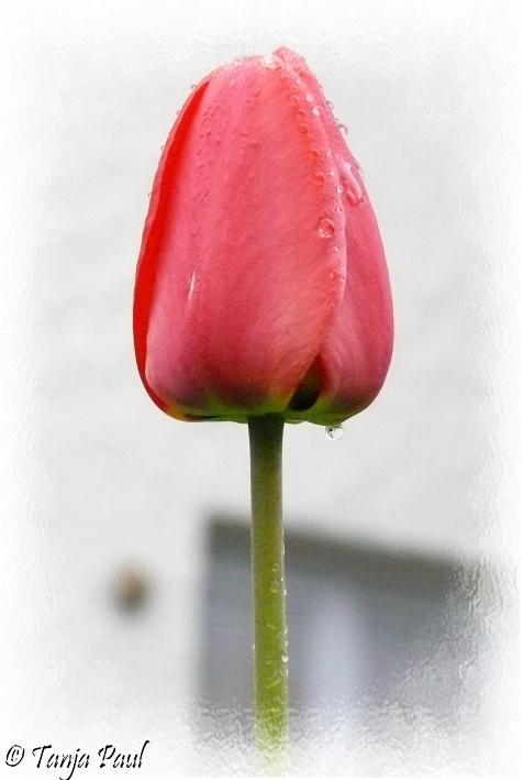 Tulpe an einem regnerischem Tag