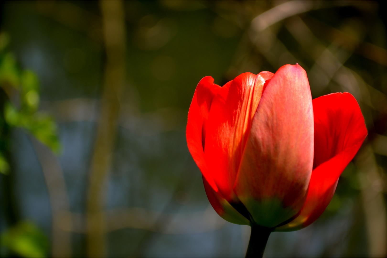 Tulpe auf Abwegen