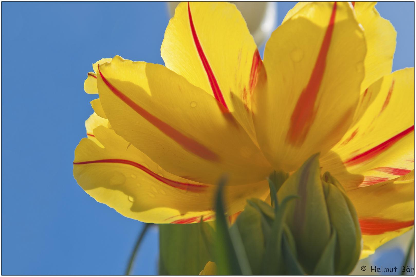 Tulpe auf der Mainau